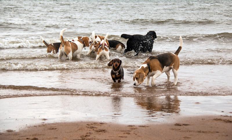 Beagles in the sea 2.jpg