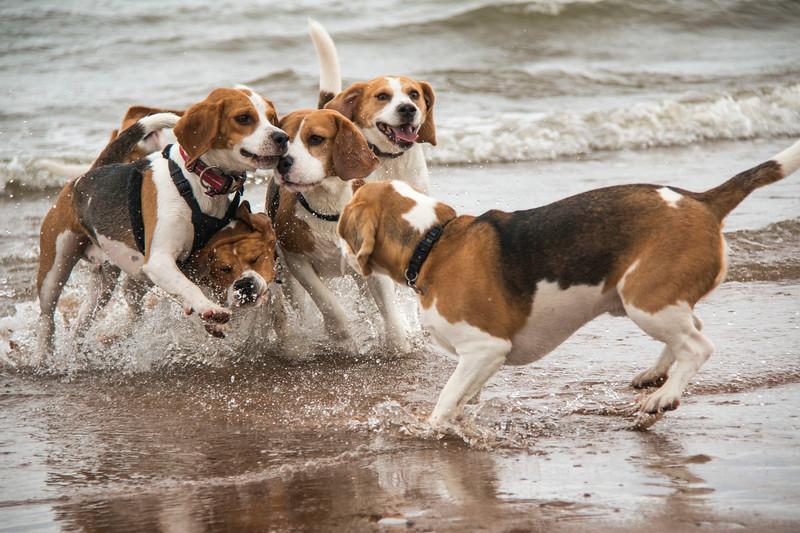 Beagles in the sea 3.jpg