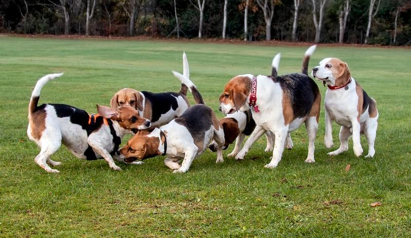 Beagle Bums just love having fun.jpg