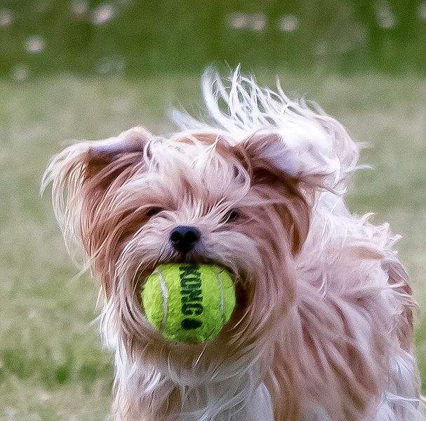 White dog with Tennis ball.jpg