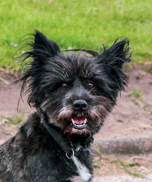 Black dog head.jpg