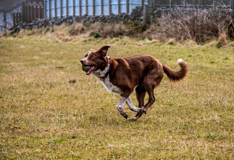 Scotstown Moor dog with tennis ball.jpg