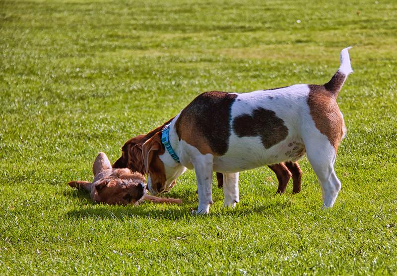 Dogs having fun 2 at Hazelhead Park.jpg