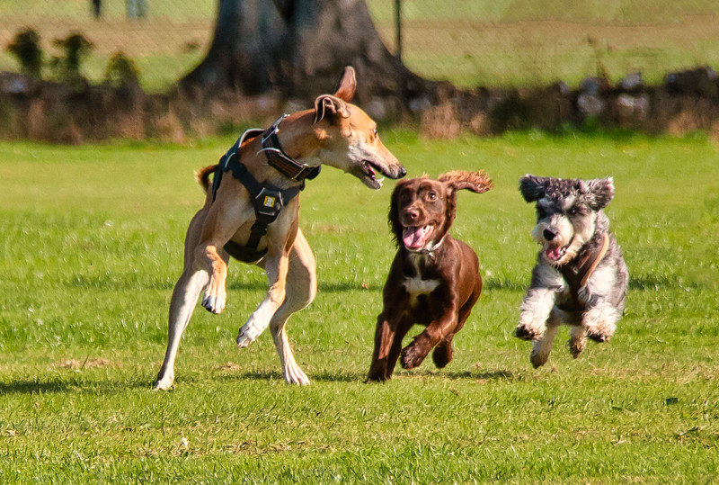 Dogs having fun at Hazelhead Park.jpg