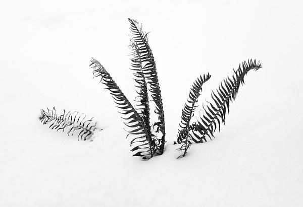 Winter Fern