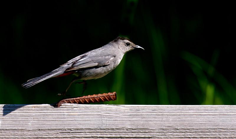 Gray Catbird ~ Dumetella carolinensis ~ Huron River Watershed, Michigan