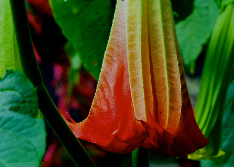 fragrant Brugmansia/Angel's Trumpets  ~ Michigan