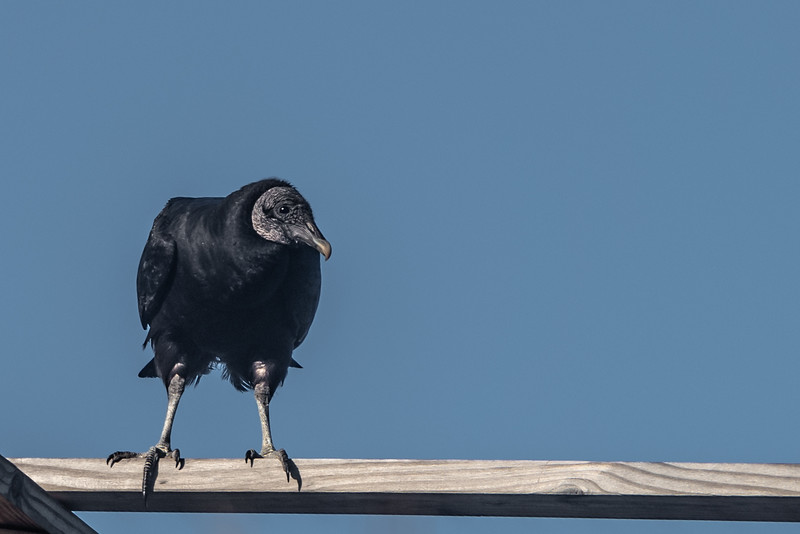 Black Vulture ~ Coragyps atratus ~ Canaveral National Seashore, Florida