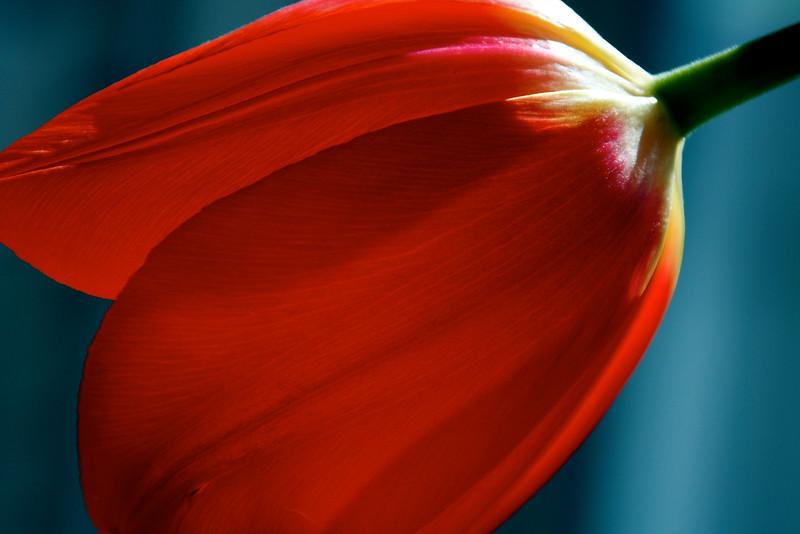 tulip ~ Michigan
