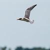 Caspian Tern, Juvenile ~ Hydroprogne caspia ~ Pointe Mouilee, Lake Erie