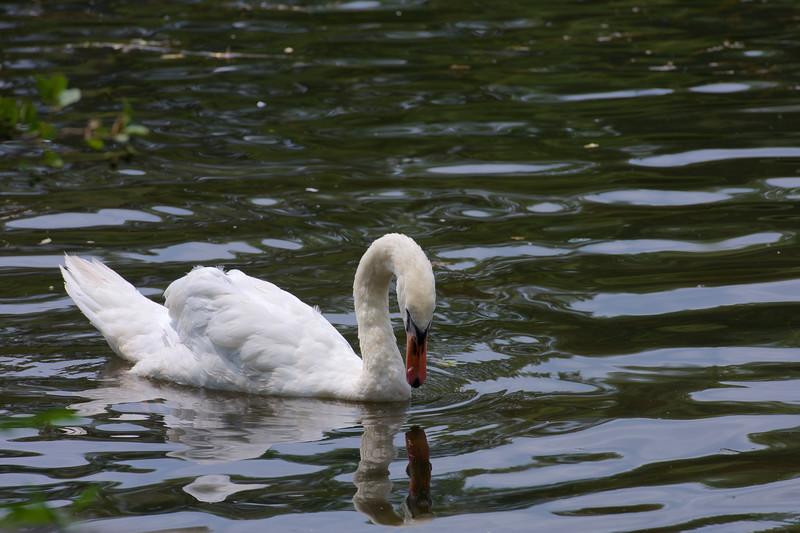 mute swan ~ Cygnus olor ~ Huron River, Michigan