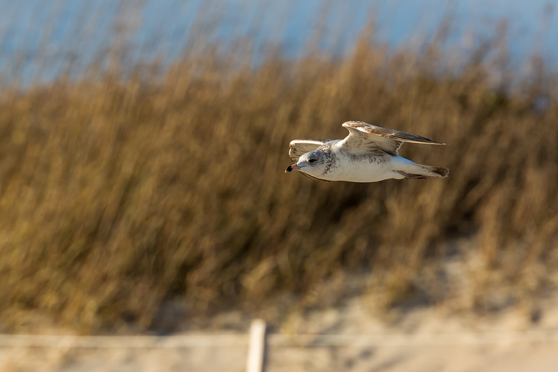 Ring-billed Gull, Juvenile (1st two years) ~ Larus delawarensis ~ Southern Outer Banks