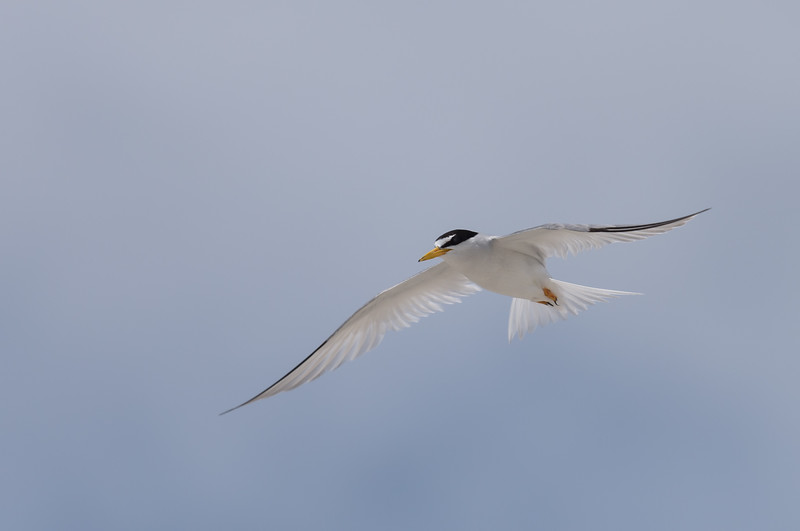 Least Tern ~ Sternula antillarum ~ Southern Outer Banks