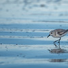 Sanderling ~ Calidris alba ~ New Smyrna Beach, Florida