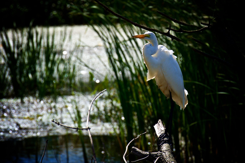 Great Egret ~ Ardea alba ~ Great Lakes and Watershed