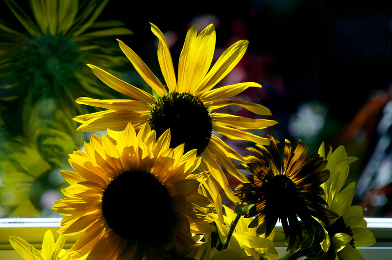 sunflowers in a sunny window, with reflections ~ Michigan