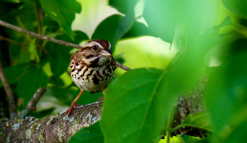 Song Sparrow ~ Melospiza melodia ~ Huron River Watershed, Michigan