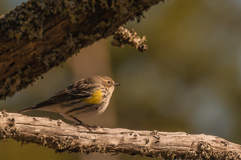Yellow-rumped Warbler ~ Setophaga coronata ~ Southern Outer Banks, North Carolina