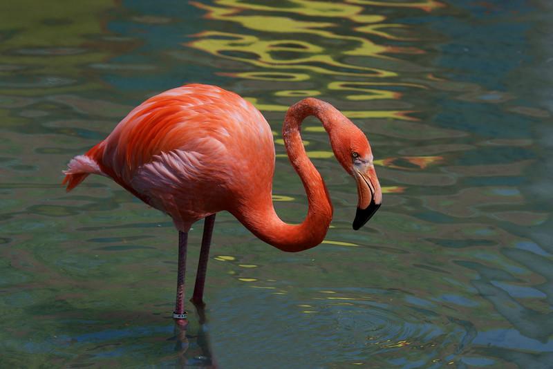 American Flamingo ~ Phoenicopterus ruber