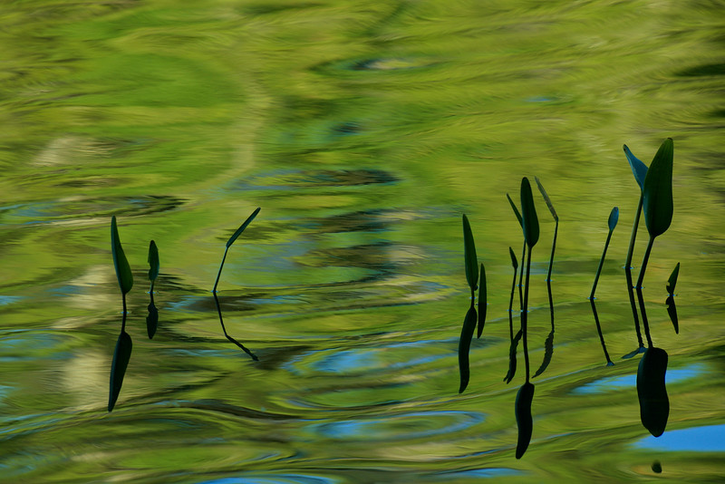water fronds and ripples ~ Hancock Pond, Maine