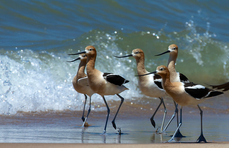 American Avocets ~ Recurvirostra americana ~ Lake Michigan