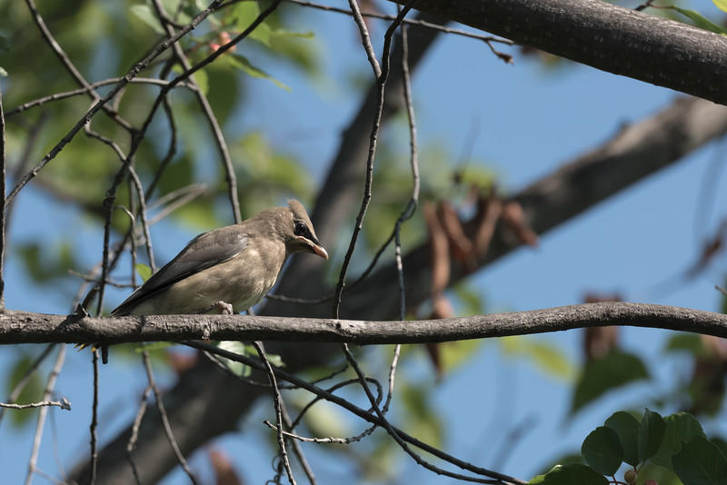 Cedar Waxwing, Juvenile ~ Bombycilla cedrorum ~ Huron River and Watershed