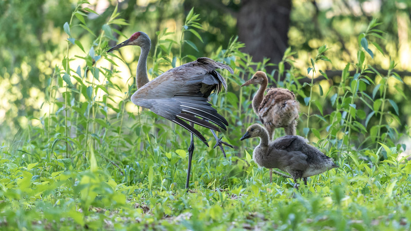 Family ~ Adopted Canada Gosling, Mom Sandhill Crane Stretching, and Brother Sandhill Crane Colt ~  Branta canadensis and Antigone canadensis ~ Kensington Metropark, Michigan