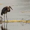 Great Blue Heron ~ Ardea herodias ~ Pointe Mouillee, Lake Erie