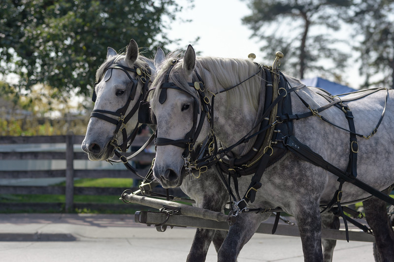 Percherons ~ Greenfield Village