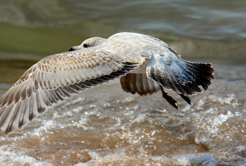 American Herring Gull ~ Larus argentatus ~ road trip to Lake Michigan with  new D7100 and lens