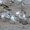 Sanderlings, with Sleeping Dunlins