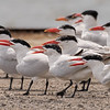 Caspian Terns ~ Hydroprogne caspia ~ Pointe Mouilee, Michigan