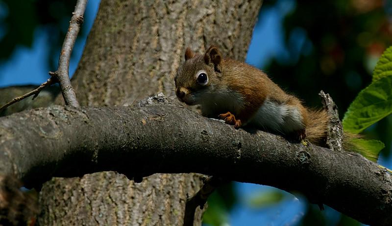 curious squirrel, juvenile ~ Michigan