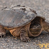 Why did the turtle cross the road? ~ Huron River Watershed