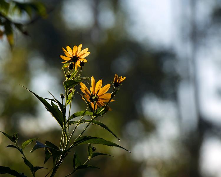 morning flowers ~ Huron River,  Michigan