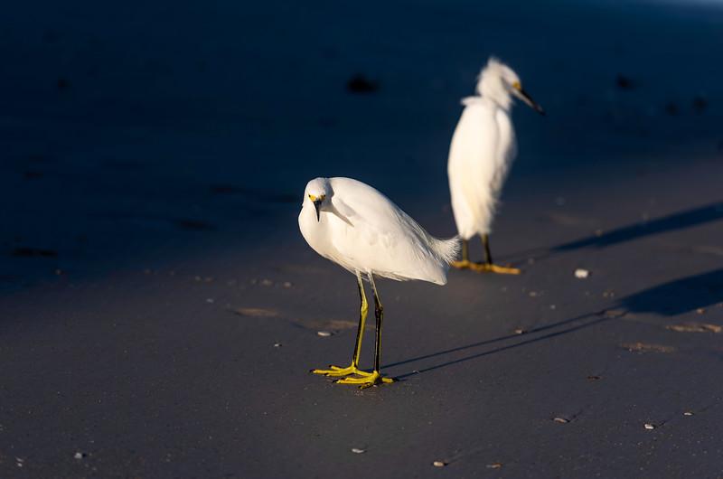 Snowy Egrets ~ Egretta thula ~ Eastern Seaboard