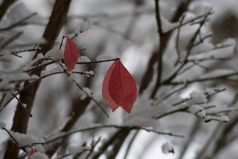 red leaves in winter ~ Michigan
