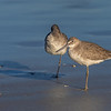 Willets ~ Tringa semipalmata ~ New Smyrna Beach, Florida