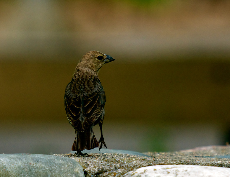 Brown-headed Cowbird ~ Molothrus ater ~ Huron River Watershed, Michigan