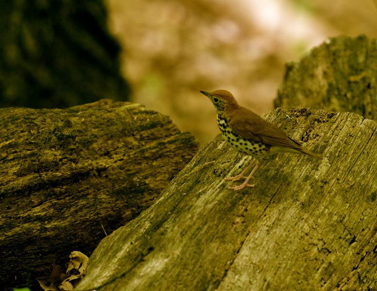wood thrush ~ Hylocichia mustelina ~ Stinchfield Woods, Michigan