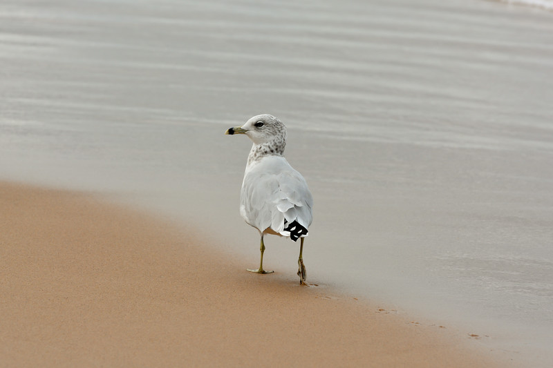 Ring-billed Gull, Strolling ~ Larus delawarensis ~ Old Saugatuck