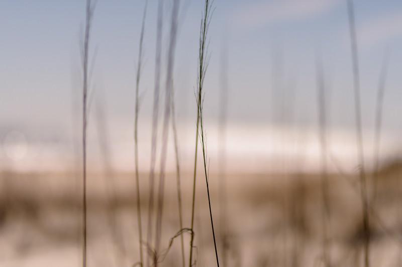 wild sea oats ~ Eastern Seaboard