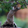 Chinese Elm Bonsai with Movement ~ Ulmus parvifolia, Ulmaceae, Asia