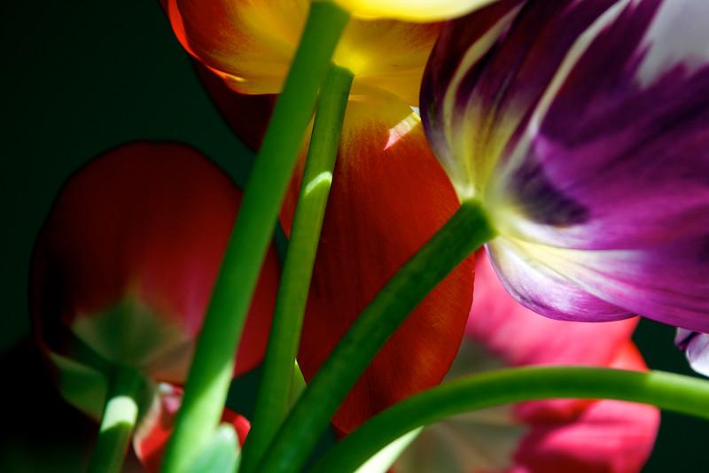 tulips ~ Michigan