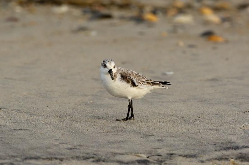 Sanderling ~ Calidris alba ~ Southern Outer Banks