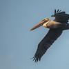 Brown Pelican ~ Pelecanus occidentalis ~ New Smyrna Beach, Florida