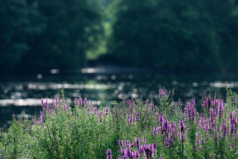 flora ~ Huron River ~ Michigan