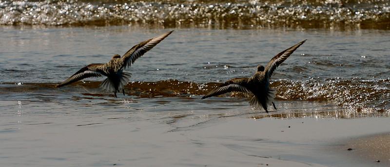 Sanderlings ~ Calidris alba ~ Lake Michigan