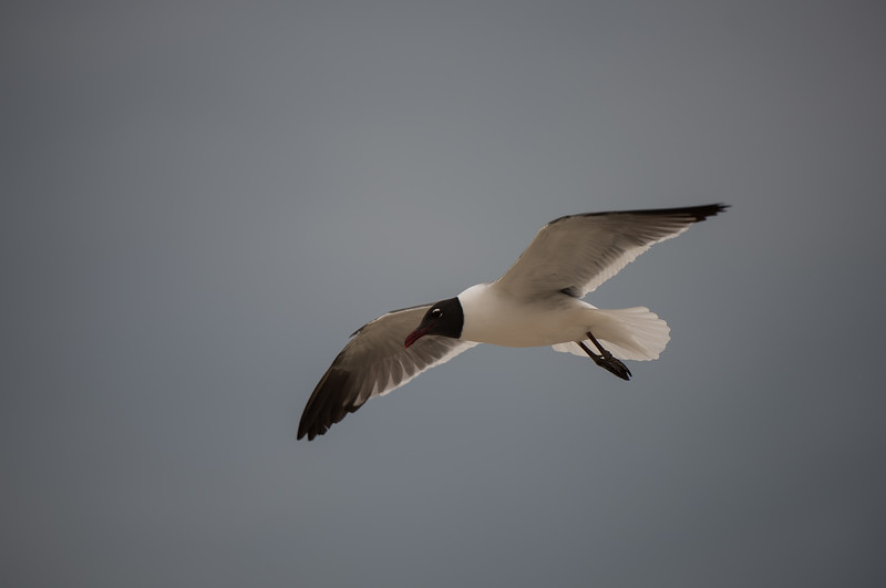 Laughing Gull ~ Leucophaeus atricilla ~ Southern Outer Banks