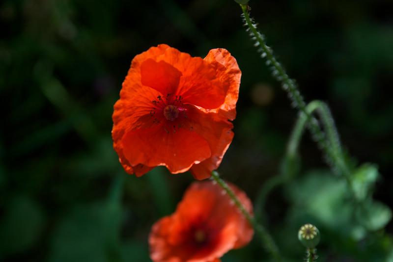 red poppies ~ Michigan